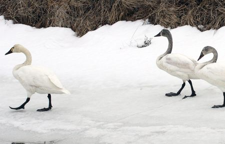 lower klamath: Tundra Swan @ Lower Klamath Wildlife Refuge, CA Stock Photo