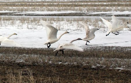 Tundra Swan Stock Photo - 7726882