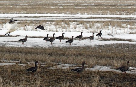 White Fronted Goose  Stock Photo - 7726903