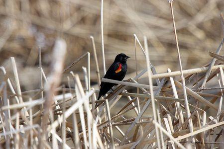 lower klamath: Red Winged Blackbird @ Lower Klamath National Wildlife Refuge, CA