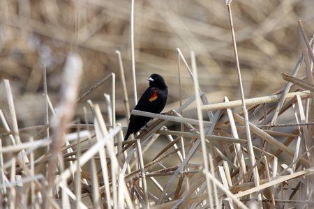 Red Winged Blackbird @ Lower Klamath National Wildlife Refuge, CA
