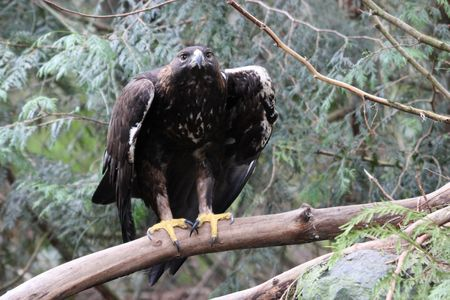 aquila reale: Golden Eagle @ Northwest Trek Wildlife Park Archivio Fotografico
