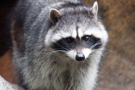 Raccoon @ Northwest Trek Wildlife Park