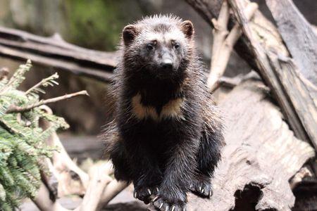 wolverine: Wolverine Kit @ Northwest Trek Wildlife Park