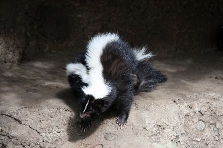 Striped Skunk @ Northwest Trek Wildlife Park, WA. Stock Photo