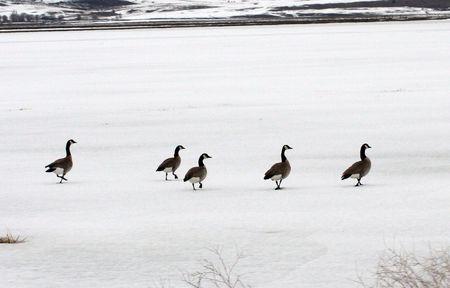 Canada Goose.  Photo taken at Lower Klamath National Wildlife Refuge, CA. Stock Photo - 7734608
