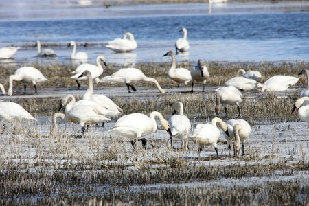 Tundra Swan.  Photo taken at Lower Klamath National Wildlife Refuge, CA. Stock Photo - 7735525