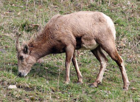 Big Horn Sheep.  Photo taken at Northwest Trek Wildlife Park, WA.