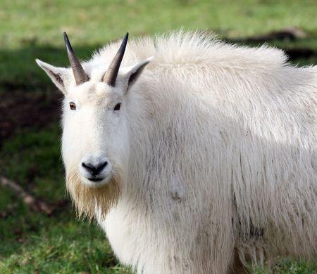 Mountain Goat.  Photo taken at Northwest Trek Wildlife Park, WA.