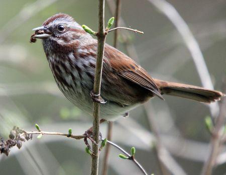 House Sparrow.  Photo taken at Northwest Trek Wildlife Park, WA. Zdjęcie Seryjne