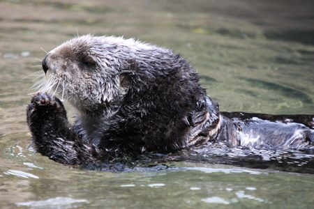 defiance: Sea Otter.  Photo taken at Point Defiance Zoo, WA. Stock Photo