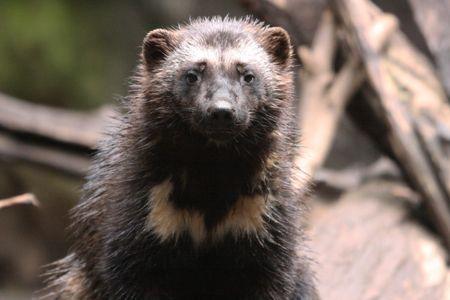 Wolverine.  Photo taken at Northwest Trek Wildlife Park, WA.