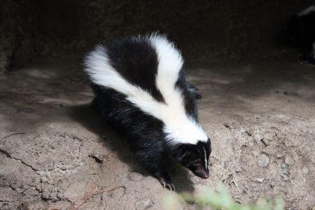 Striped Skunk.  Photo taken at Northwest Trek Wildlife Park, WA. Stock Photo
