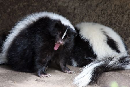 Striped Skunk.  Photo taken at Northwest Trek Wildlife Park, WA. Stock Photo