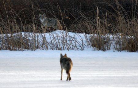 Coyote.  Photo taken at Lower Klamath National Wildlife Refuge, CA. photo