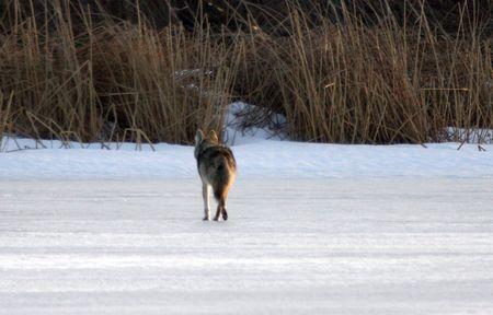 lower klamath: Coyote.  Photo taken at Lower Klamath National Wildlife Refuge, CA.