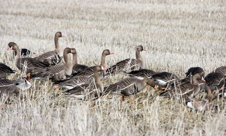 white fronted goose: White Fronted Goose.  Photo taken at Lower Klamath National Wildlife Refuge, CA.