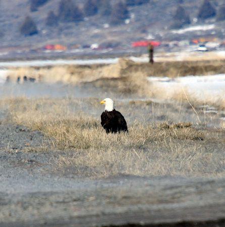 Bald Eagle.  Photo taken at Lower Klamath National Wildlife Refuge, CA. Stock Photo
