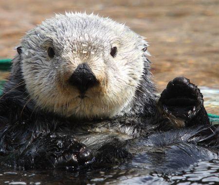Sea Otter.  Photo taken at Point Defiance Zoo, WA. Stock Photo