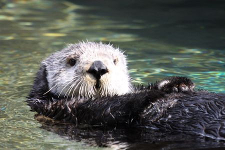 Sea Otter.  Photo taken at Point Defiance Zoo, WA. Stock Photo