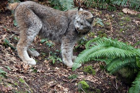 Lynx.  Photo taken at Northwest Trek Wildlife Park, WA.