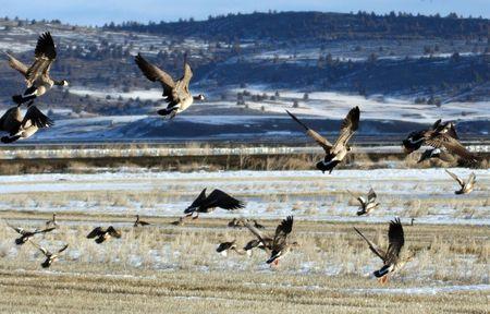Canada Goose.  Photo taken at Lower Klamath National Wildlife Refuge, CA. Stock Photo - 7847644