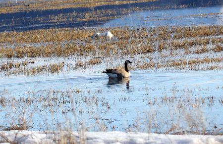 Canada Goose.  Photo taken at Lower Klamath National Wildlife Refuge, CA. Stock Photo - 7847647