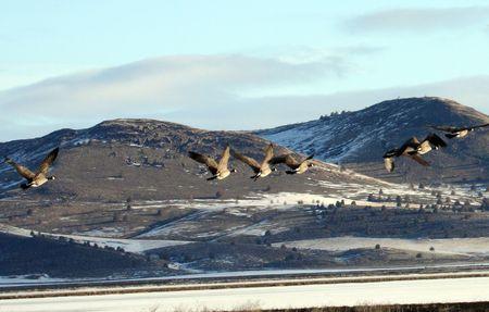 Canada Goose.  Photo taken at Lower Klamath National Wildlife Refuge, CA. photo