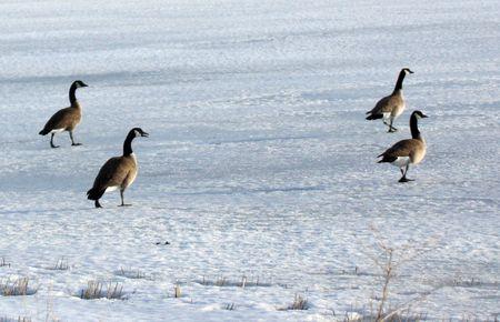 Canada Goose.  Photo taken at Lower Klamath National Wildlife Refuge, CA. Stock Photo