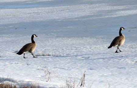 klamath: Canada Goose.  Photo taken at Lower Klamath National Wildlife Refuge, CA. Stock Photo