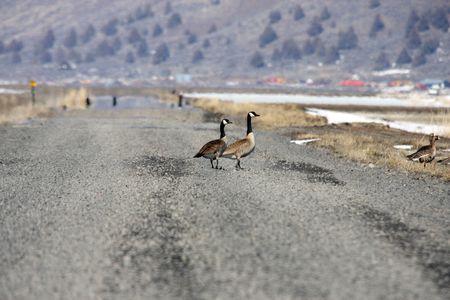 Canada Goose.  Photo taken at Lower Klamath National Wildlife Refuge, CA. Stock Photo - 7847653