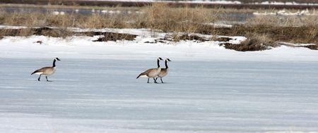 Canada Goose.  Photo taken at Lower Klamath National Wildlife Refuge, CA. Stock Photo - 7847648