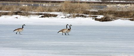 Canada Goose.  Photo taken at Lower Klamath National Wildlife Refuge, CA. Stock Photo - 7847648