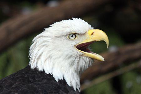 Bald Eagle.  Photo taken at Northwest Trek Wildlife Park, WA.