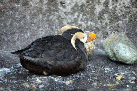 defiance: Tufted Puffin.  Photo taken at Point Defiance Zoo, WA. Stock Photo