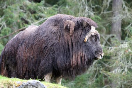 defiance: Musk Ox.  Photo taken at Point Defiance Zoo, WA.