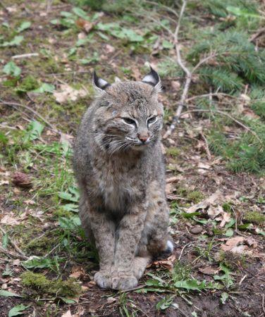 northwest: Bobcat.  Photo taken at Northwest Trek Wildlife Park, WA.