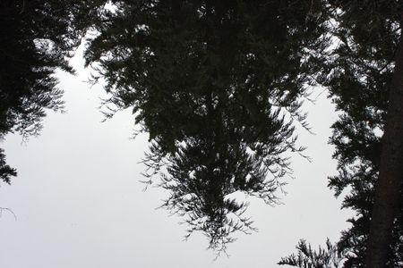 Tall, Tall Trees.  Photo taken at Northwest Trek Wildlife Park, WA.