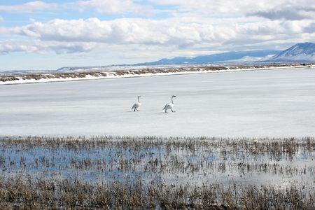 Tundra Swan.  Photo taken at Lower Klamath National Wildlife Refuge, CA. photo