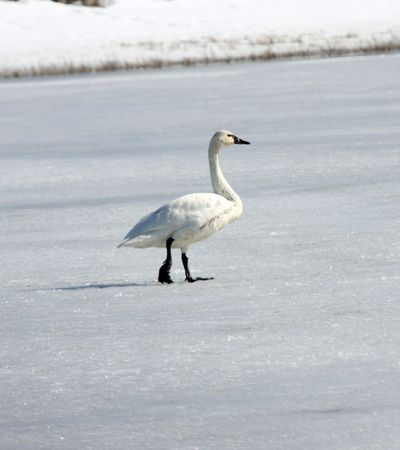 Tundra Swan.  Photo taken at Lower Klamath National Wildlife Refuge, CA. Stock Photo - 7847894