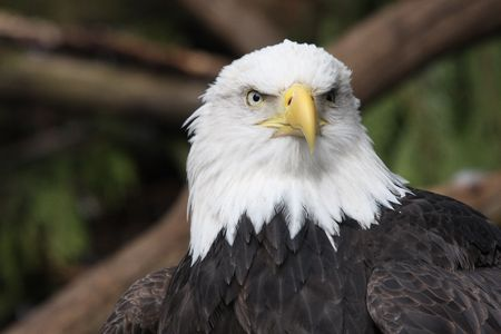 Bald Eagle.  Photo taken at Northwest Trek Wildlife Park, WA.