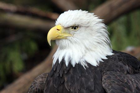 Bald Eagle.  Photo taken at Northwest Trek Wildlife Park, WA. photo