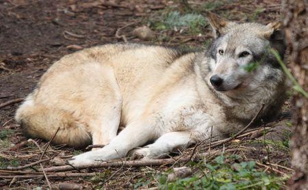 Grey Wolf.  Photo taken at Northwest Trek Wildlife Park, WA. Stock Photo