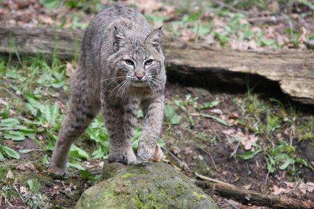 Bobcat.  Photo taken at Northwest Trek Wildlife Park, WA. Stock Photo - 7848302