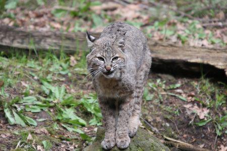 Bobcat.  Photo taken at Northwest Trek Wildlife Park, WA.