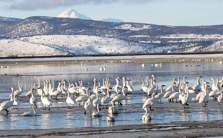Tundra Swan.  Photo taken at Lower Klamath National Wildlife Refuge, CA. Stock Photo - 7848335