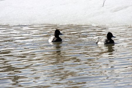scaup: Greater Scaup Duck.  Photo taken at Lower Klamath National Wildlife Refuge, CA. Stock Photo