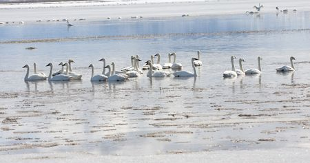 Tundra Swan.  Photo taken at Lower Klamath National Wildlife Refuge, CA. Stock Photo - 7862508