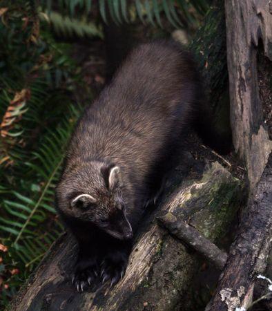 Fisher.  Photo taken at Northwest Trek Wildlife Park, WA. Stock Photo