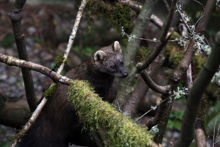 Fisher. Photo prise au parc de la faune pour le Trek du Nord-Ouest, WA.  Banque d'images - 7862548